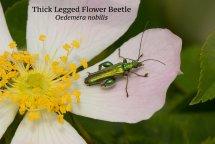 Thick Legged Flower Beetle