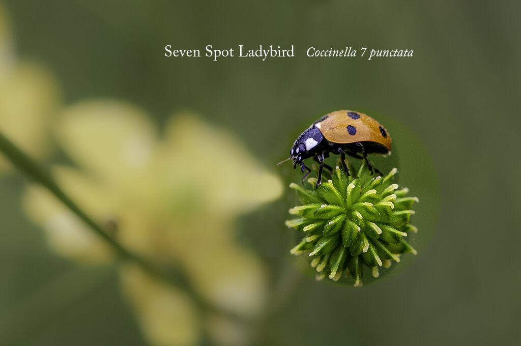 Seven Spot Ladybird Coccinella 7 puncata