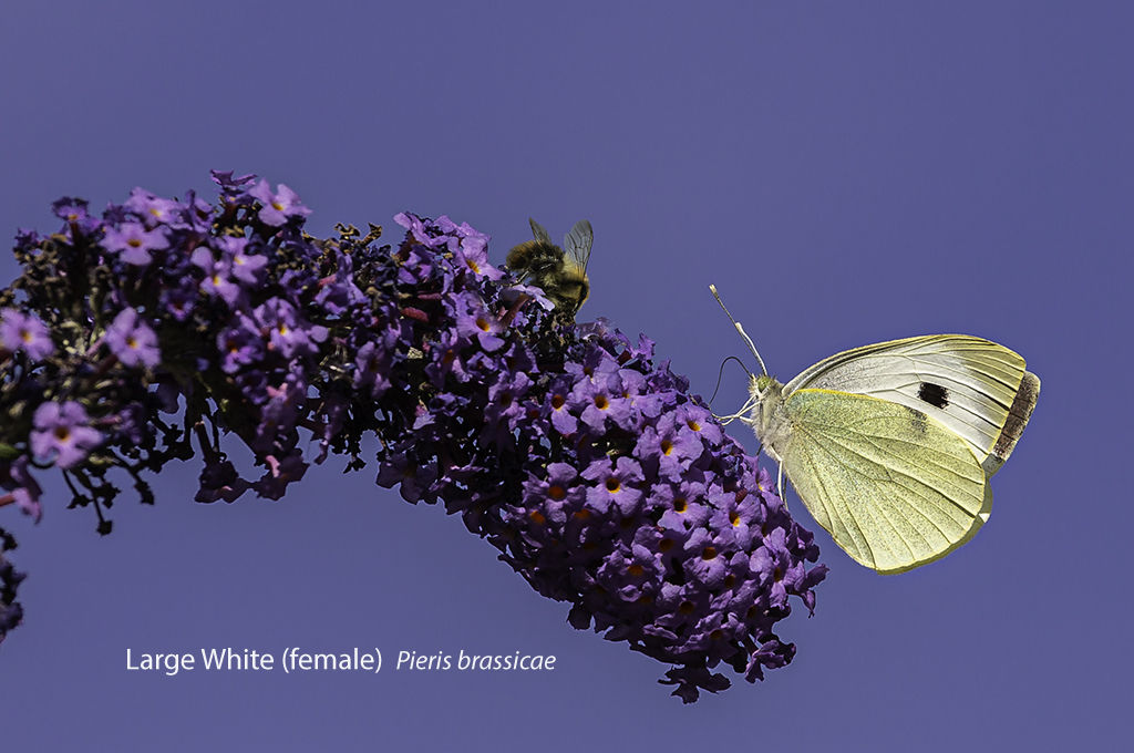 Large White (female) Pieris brassicae