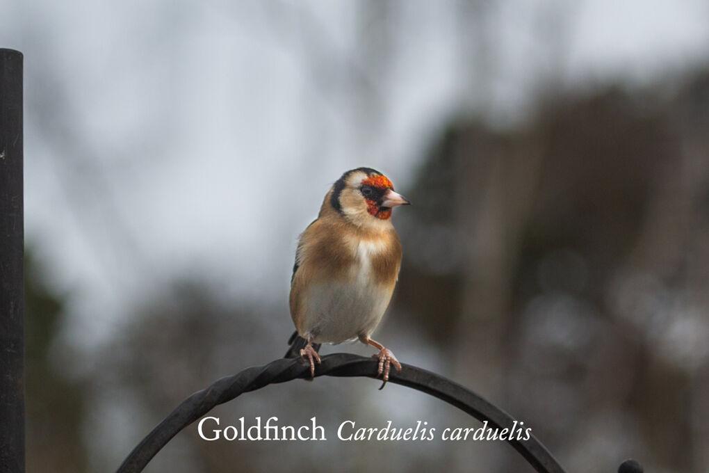 Goldfinch Carduelis carduelis-