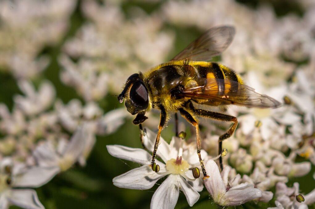 Hover Fly Episyrphus balteatus