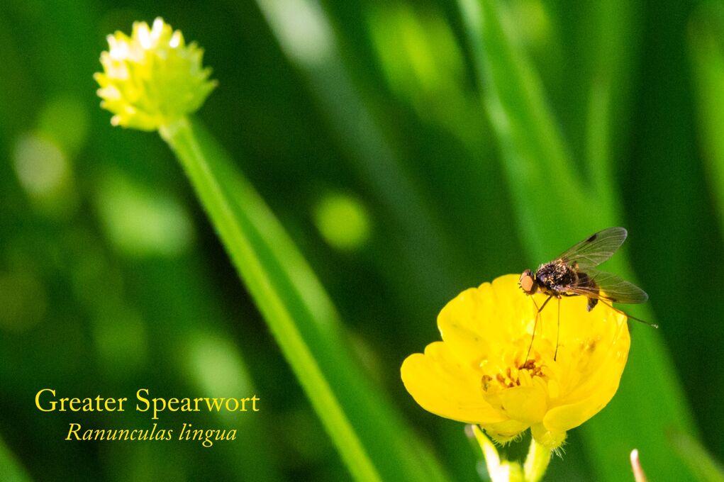 Greater Spearwort Ranunculas lingua-Edit