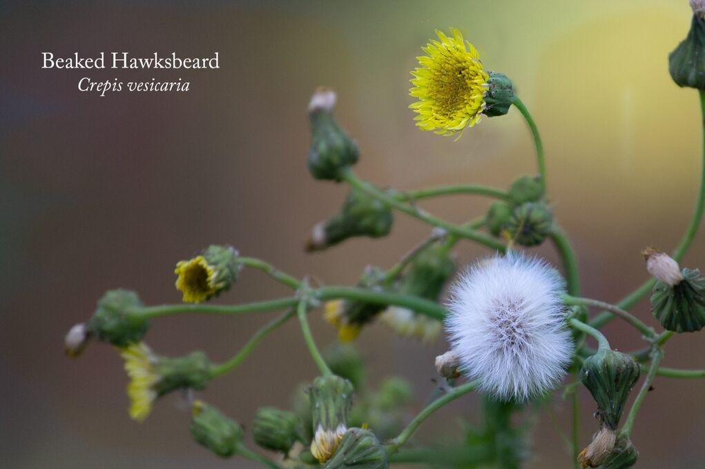 Beaked Hawksbeard Crepis vesicaria-Edit