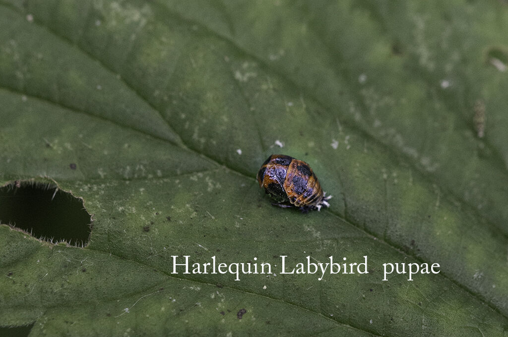 Harlequin Labybird pupae-Edit