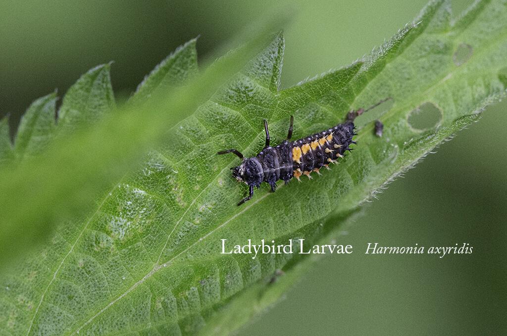 Ladybird Larvae Harmonia axyridis-Edit