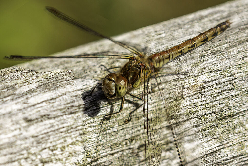 PL8812-Common Darter Female Sympetrum striolatum