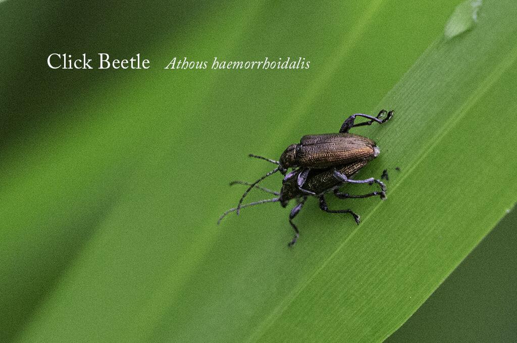 Click Beetle Athous haemorrhoidalis-Edit