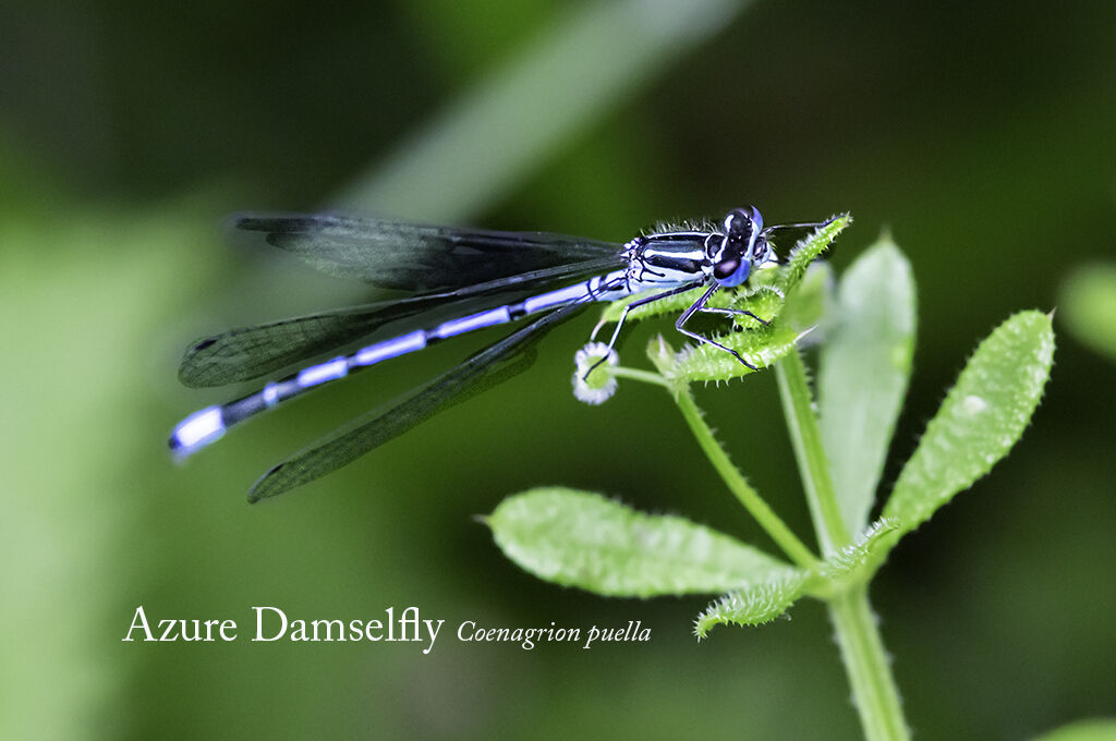 Azure Damselfly Coenagrion puella-Edit