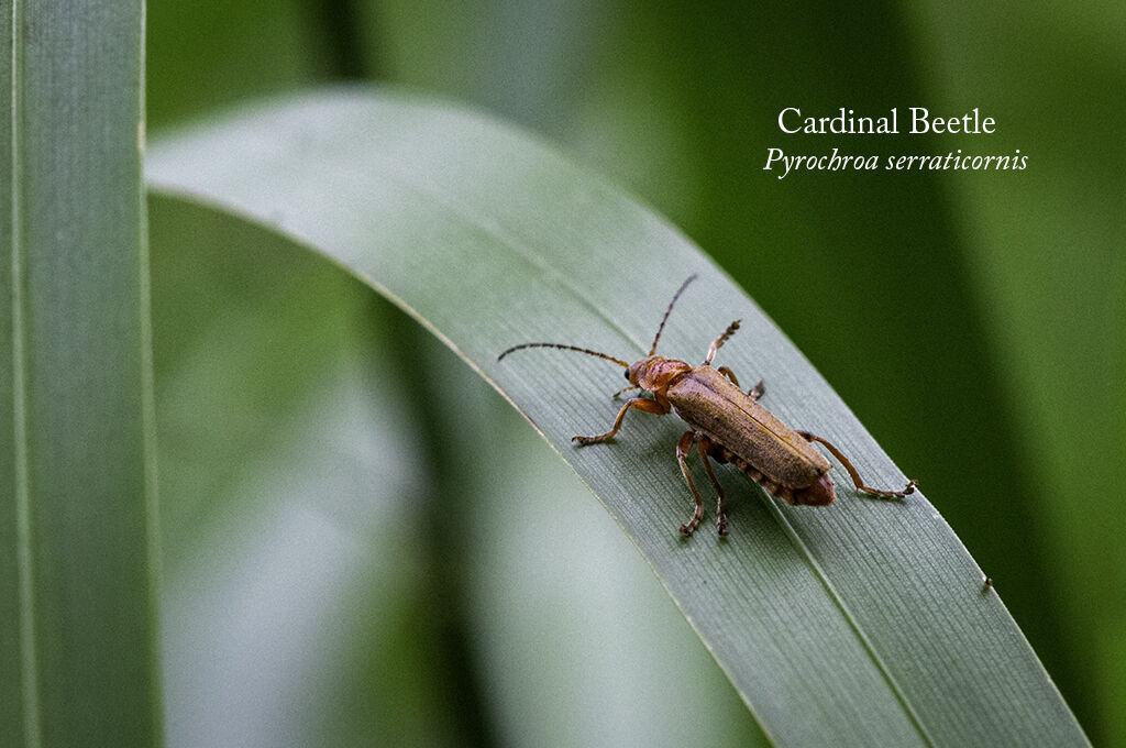 Cardinal Beetle Pyrochroa serraticornis-Edit
