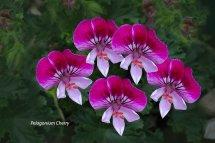 Pelagonium Cherry