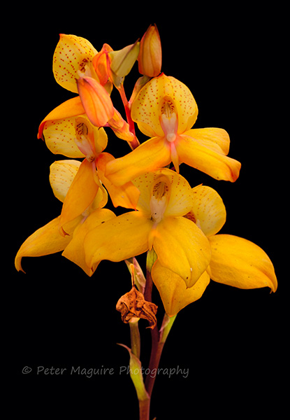 Disa orchid