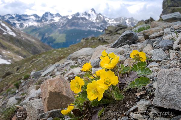 Alpine avens