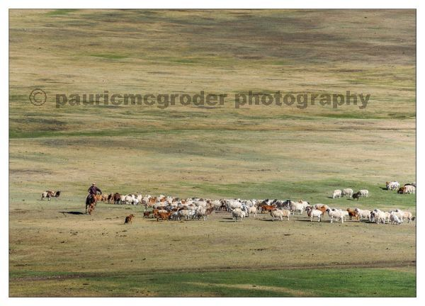 Herding - what Mongolian nomads do