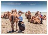 Camel Shearing