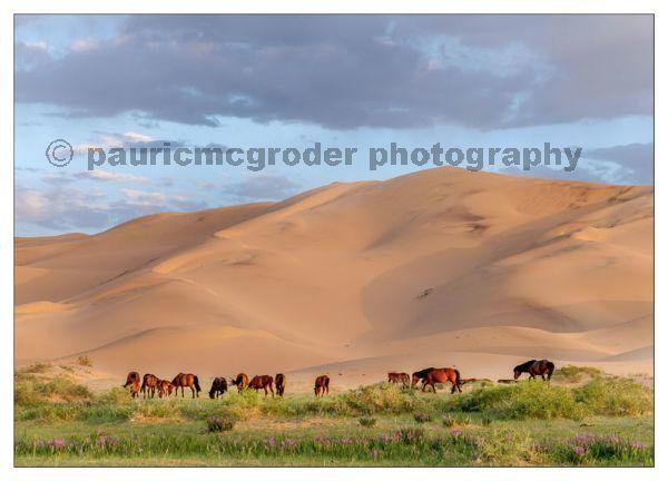 Horses at Khangoryn Els Sand Dunes