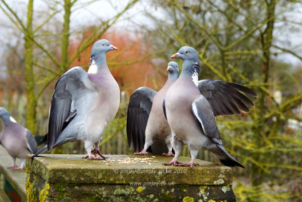 The pigeon committee in session