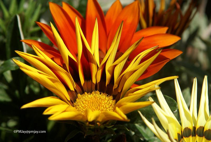A striking variety of Daisy