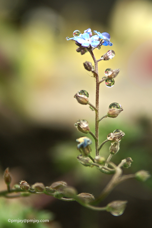 A Forget Me Not collects raindrops