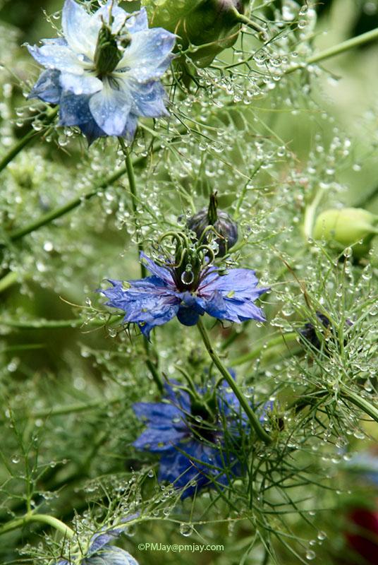 Nigella damascena, or Love in a Mist