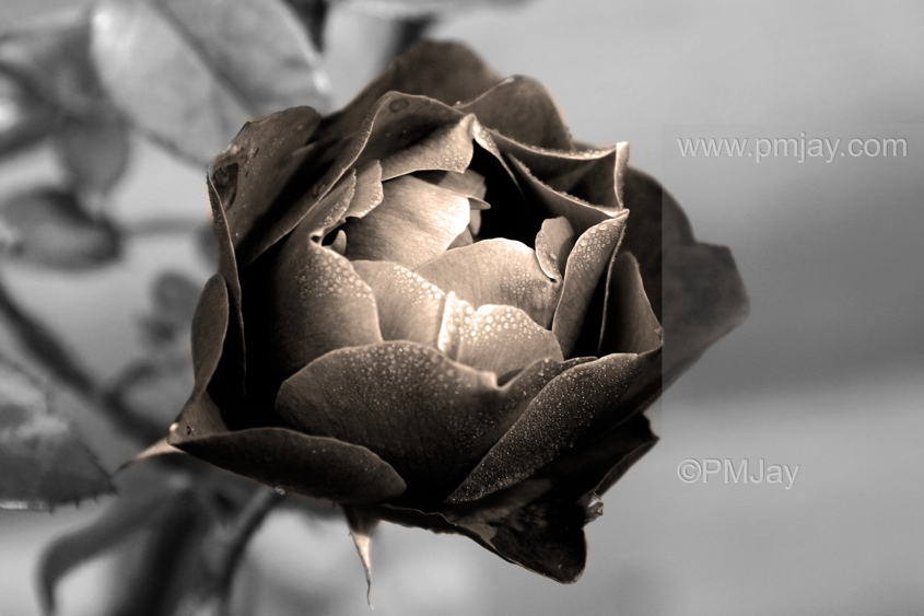 Rose, mono conversion with sepia tint