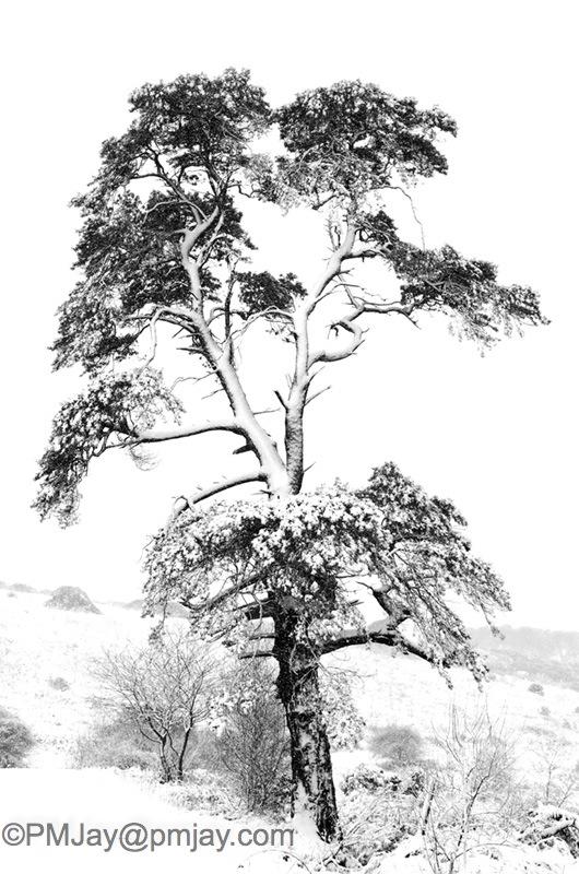 Scots Pine mono