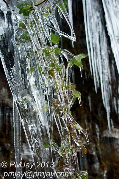 Ivy, frozen by winters grip