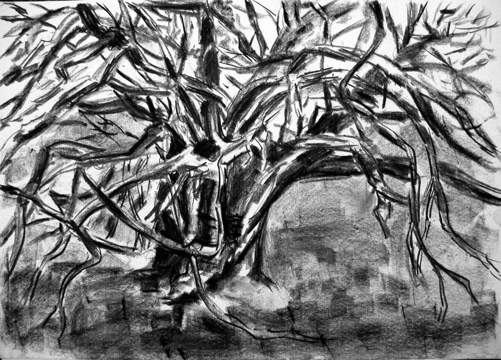 Study of an old Yew Tree