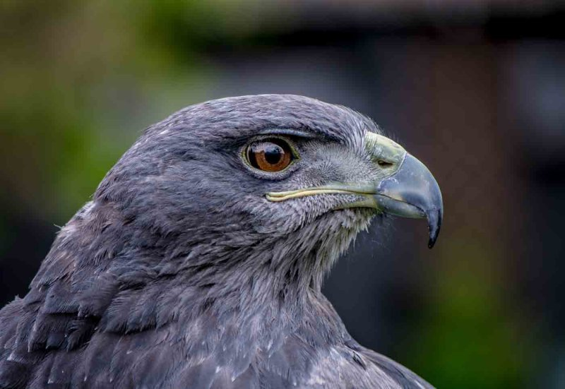 Eagle Eyed by Denzil Tancock