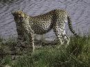 The Cheetah by Christine Marshall