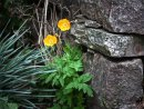 Welsh Poppy and Stone by Mick Wells