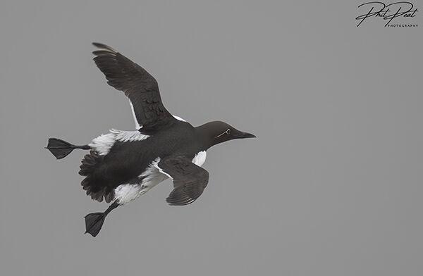 Bridled Guillemot In Flight