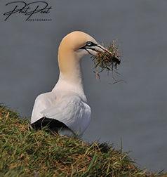 Gannet Gathering Grass