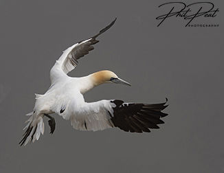 Gannet Preparing To Land