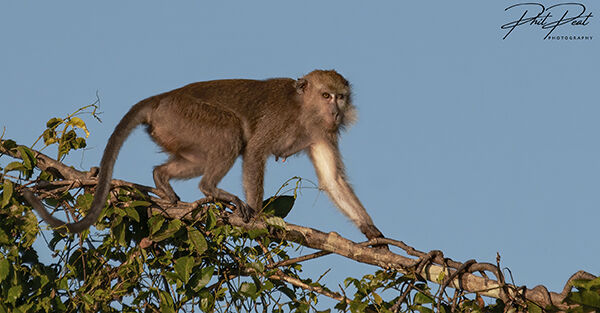 Long Tailed Macaque On A Branch
