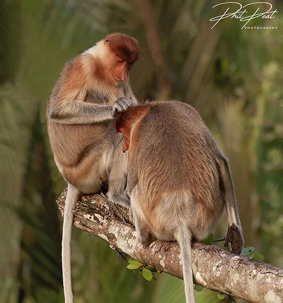 Proboscis Monkey Grooming Session