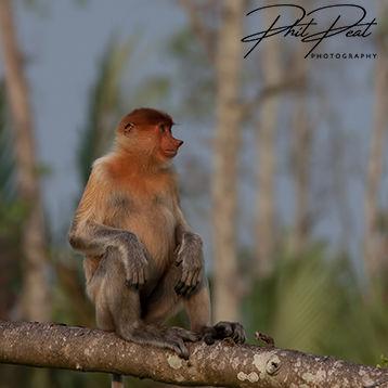 Proboscis Monkey Resting