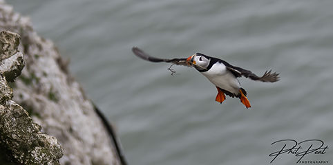 Puffin With Nesting
