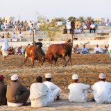 Bull Fight in Barka