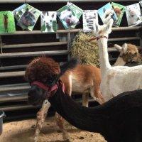 Alpaca's at Wool Fest 2015