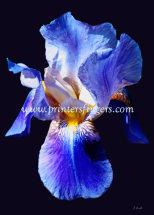 Blue-Iris-Hope