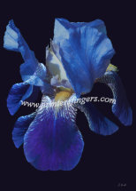 Blue Iris - Faith