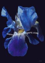 Blue Iris - Faith