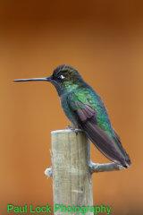 Magnificent Hummingbird