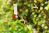 Long-tailed Hermit, Rufous-tailed Hummingbird