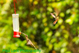Long-tailed Hermit, Rufous-tailed Hummingbird