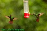 Rufous-tailed Hummingbirds