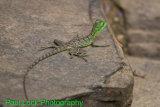 Basilisk Lizard (Jesus Lizard)