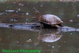 Black River Turtle