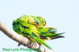 Orange -fronted Parakeets