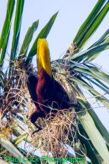 Montezuma Oropendola at the nest